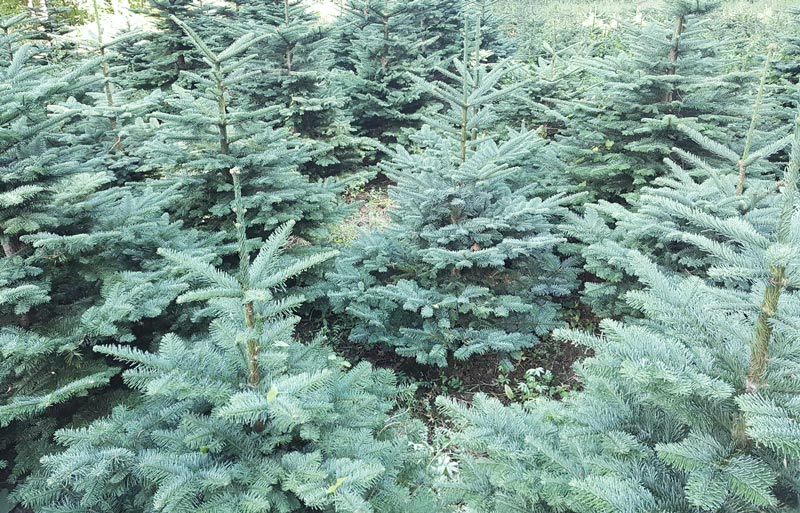 Christmas Trees for sale in Ireland