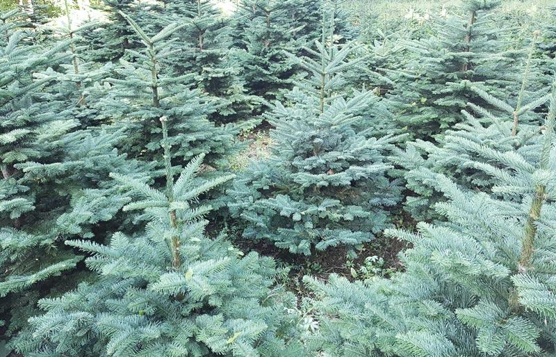 3 ft trees
