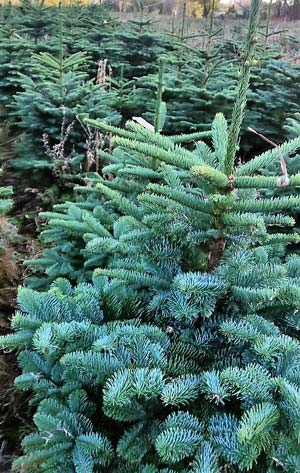 Noble Fir in Ireland