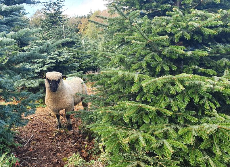 christmas trees with shropshire sheep