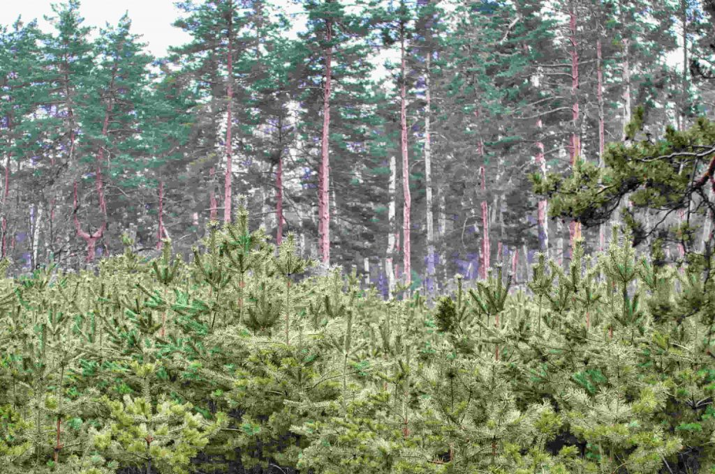 Irish Forestry